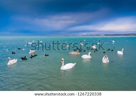 Amazing nature landscape. Beautiful swans in blue sea. Great panorama view. Inspiring nature. Animals birds view. #1267220338