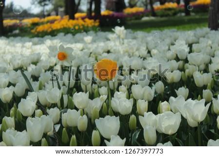 Beautiful white tulips flowerbed closeup. Flower background. Summer garden landscape design. #1267397773