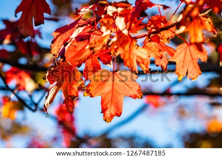 Red leaves being lit up by the sun in the fall in the Midwest of the United States. #1267487185