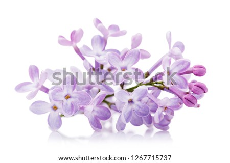 Branch of lilac close-up isolated on white background #1267715737