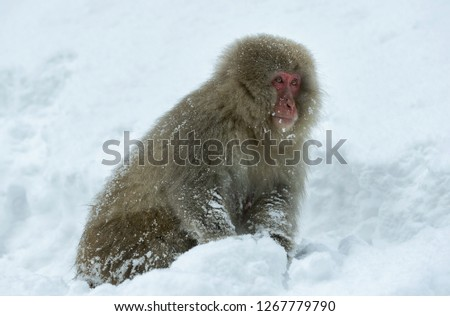 Japanese macaque on the snow. The Japanese macaque ( Scientific name: Macaca fuscata), also known as the snow monkey. Natural habitat, winter season. #1267779790