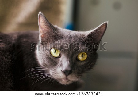 Portrait of a black cat with yellow eyes #1267835431