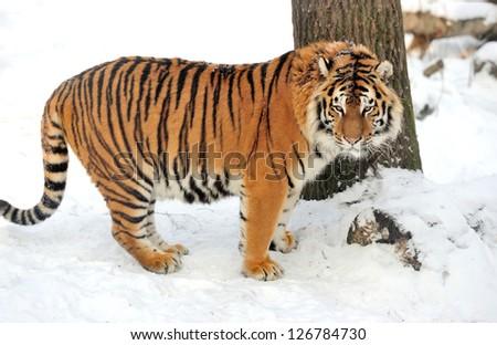 Beautiful wild siberian tiger on snow #126784730