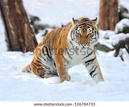 Beautiful wild siberian tiger on snow #126784733