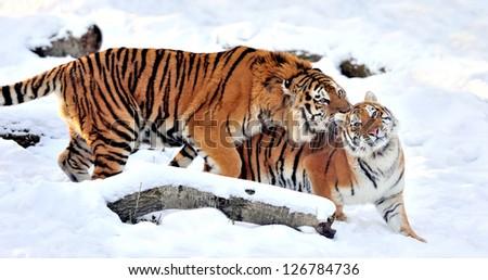 Beautiful wild siberian tiger on snow #126784736