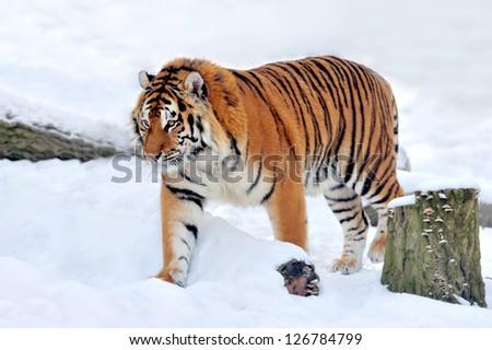 Beautiful wild siberian tiger on snow #126784799