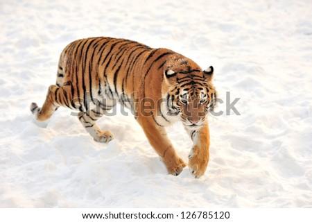 Beautiful wild siberian tiger on snow #126785120