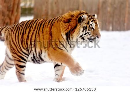 Beautiful wild siberian tiger on snow #126785138