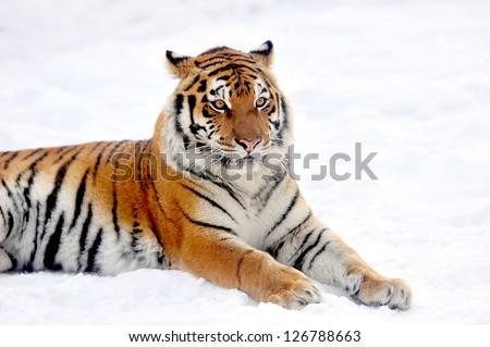 Beautiful wild siberian tiger on snow #126788663