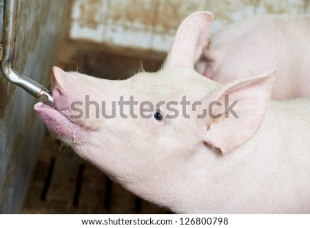 group of young piglet drinking water at pig breeding farm #126800798