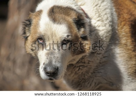 Old Central Asian Shepherd Dog with a wound on his side #1268118925