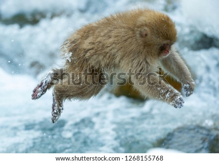 Japanese macaque jumping. The Japanese macaque ( Scientific name: Macaca fuscata), also known as the snow monkey. Natural habitat, winter season. #1268155768