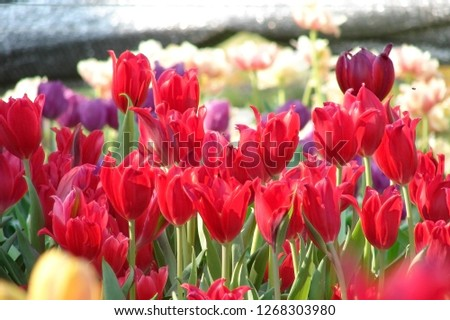 Many colorful tulips,Red tulips, Yellow tulips, White tulips,  #1268303980