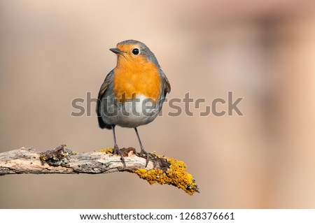 Robin - Erithacus rubecula, standing on a branch #1268376661