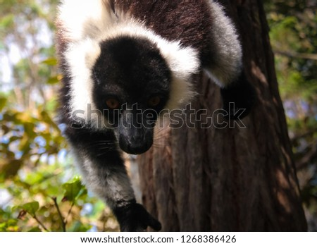Portrait of black-and-white ruffed lemur aka Varecia variegata or Vari lemur at the tree in Atsinanana region, Madagascar #1268386426