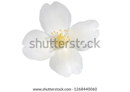 Jasmine flower isolated on white background #1268440060