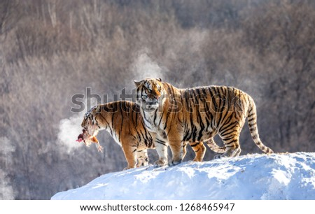 Two Siberian tigers stand on a snow-covered hill and catch prey. China. Harbin. Mudanjiang province. Hengdaohezi park. Siberian Tiger Park. Winter. Hard frost. (Panthera tgris altaica) #1268465947