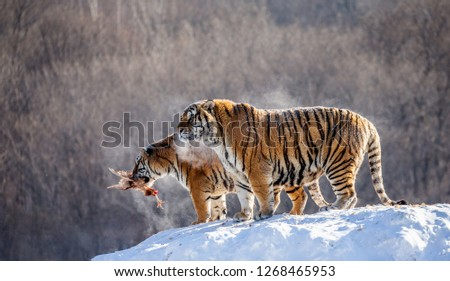 Two Siberian tigers stand on a snow-covered hill and catch prey. China. Harbin. Mudanjiang province. Hengdaohezi park. Siberian Tiger Park. Winter. Hard frost. (Panthera tgris altaica) #1268465953