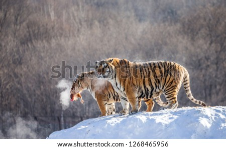 Two Siberian tigers stand on a snow-covered hill and catch prey. China. Harbin. Mudanjiang province. Hengdaohezi park. Siberian Tiger Park. Winter. Hard frost. (Panthera tgris altaica) #1268465956