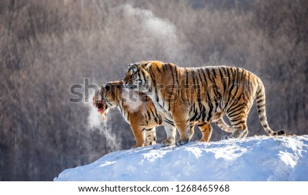 Two Siberian tigers stand on a snow-covered hill and catch prey. China. Harbin. Mudanjiang province. Hengdaohezi park. Siberian Tiger Park. Winter. Hard frost. (Panthera tgris altaica) #1268465968
