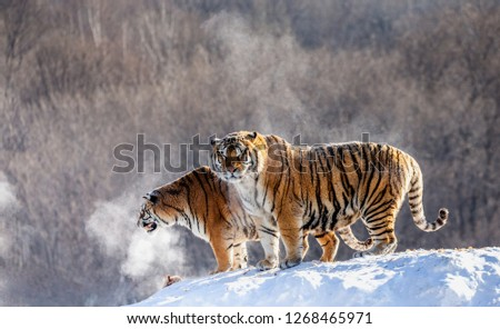 Two Siberian tigers stand on a snow-covered hill and catch prey. China. Harbin. Mudanjiang province. Hengdaohezi park. Siberian Tiger Park. Winter. Hard frost. (Panthera tgris altaica) #1268465971