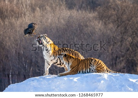 Two Siberian tigers stand on a snow-covered hill and catch prey. China. Harbin. Mudanjiang province. Hengdaohezi park. Siberian Tiger Park. Winter. Hard frost. (Panthera tgris altaica) Royalty-Free Stock Photo #1268465977