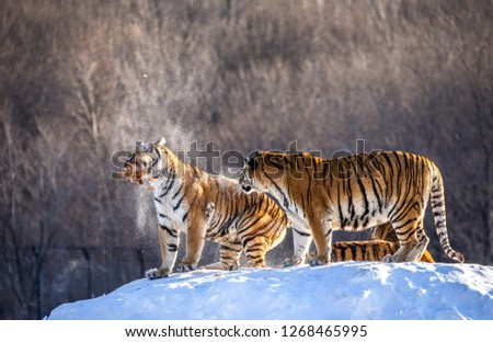 Two Siberian tigers stand on a snow-covered hill and catch prey. China. Harbin. Mudanjiang province. Hengdaohezi park. Siberian Tiger Park. Winter. Hard frost. (Panthera tgris altaica) #1268465995