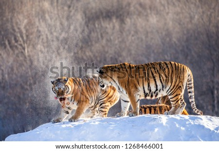 Two Siberian tigers stand on a snow-covered hill and catch prey. China. Harbin. Mudanjiang province. Hengdaohezi park. Siberian Tiger Park. Winter. Hard frost. (Panthera tgris altaica) #1268466001