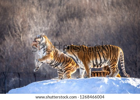 Two Siberian tigers stand on a snow-covered hill and catch prey. China. Harbin. Mudanjiang province. Hengdaohezi park. Siberian Tiger Park. Winter. Hard frost. (Panthera tgris altaica) #1268466004