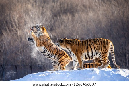 Two Siberian tigers stand on a snow-covered hill and catch prey. China. Harbin. Mudanjiang province. Hengdaohezi park. Siberian Tiger Park. Winter. Hard frost. (Panthera tgris altaica) #1268466007