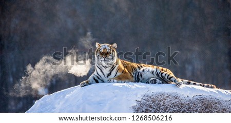 Siberian tiger lying on a snow-covered hill. Portrait against the winter forest. China. Harbin. Mudanjiang province. Hengdaohezi park. Siberian Tiger Park. Winter. Hard frost. (Panthera tgris altaica) Royalty-Free Stock Photo #1268506216