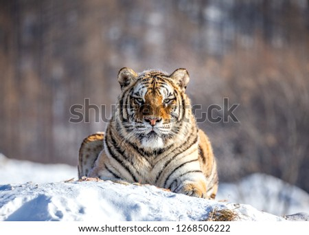 Siberian tiger lying on a snow-covered hill. Portrait against the winter forest. China. Harbin. Mudanjiang province. Hengdaohezi park. Siberian Tiger Park. Winter. Hard frost. (Panthera tgris altaica) Royalty-Free Stock Photo #1268506222