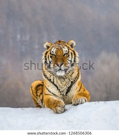 Siberian tiger lying on a snow-covered hill. Portrait against the winter forest. China. Harbin. Mudanjiang province. Hengdaohezi park. Siberian Tiger Park. Winter. Hard frost. (Panthera tgris altaica) Royalty-Free Stock Photo #1268506306