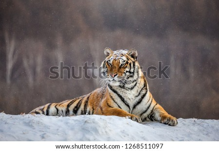Siberian tiger lying on a snow-covered hill. Portrait against the winter forest. China. Harbin. Mudanjiang province. Hengdaohezi park. Siberian Tiger Park. Winter. Hard frost. (Panthera tgris altaica) Royalty-Free Stock Photo #1268511097