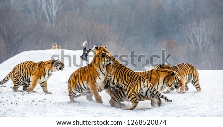 Siberian tigers in a snowy glade catch their prey. Very dynamic shot. China. Harbin. Mudanjiang province. Hengdaohezi park. Siberian Tiger Park. Winter. Hard frost. (Panthera tgris altaica) #1268520874
