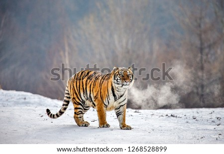 Siberian tiger walks in a snowy meadow in a cloud of steam in a hard frost. Very unusual image. China. Harbin. Mudanjiang province. Hengdaohezi park. Siberian Tiger Park. Winter. (Panthera tigris altai) Royalty-Free Stock Photo #1268528899