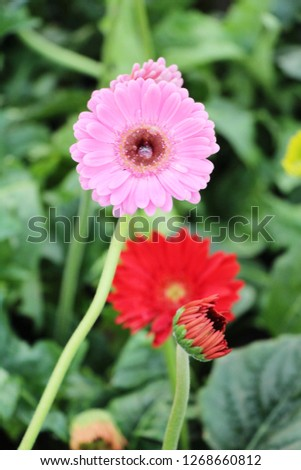Gerbera flowers in garden  #1268660812