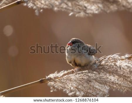 Red avadavat, munia or strawberry finch (Amandava amandava) #1268876104