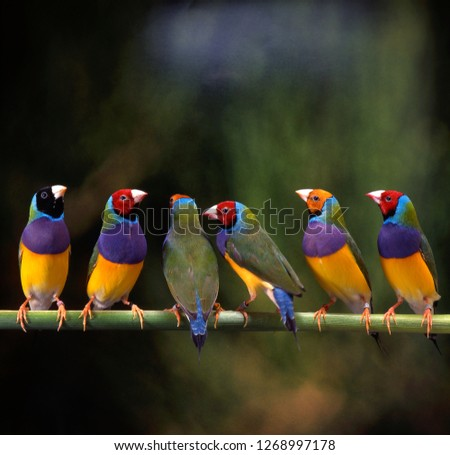 gouldian finch in birdcage Royalty-Free Stock Photo #1268997178