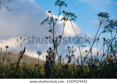 Blooming wild flowers on the meadow at spring time. Beautiful cosmos flowers blooming in nature on sky background #1269024442