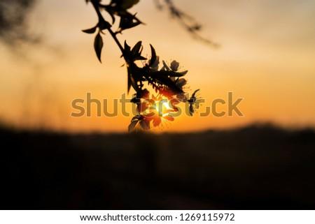 Macro shot of sunrise peeking thru cherry blossom flower silhouette #1269115972