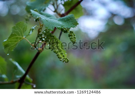 Blooming grape after the raing #1269124486