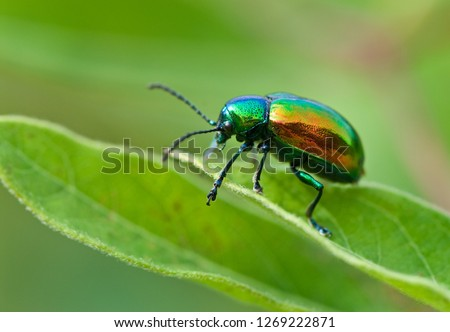 Dogbane beetle (Chrysochus auratus) on leaf of dogbane (Apocynum cannibinum). Beetle feeds on dogbane leaves, which are toxic. Bright iridescence on beetle warns predators against attack. Royalty-Free Stock Photo #1269222871