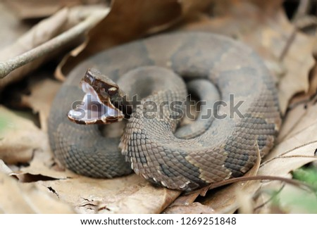 Side view of a Cottonmouth snake, ready to strike Royalty-Free Stock Photo #1269251848