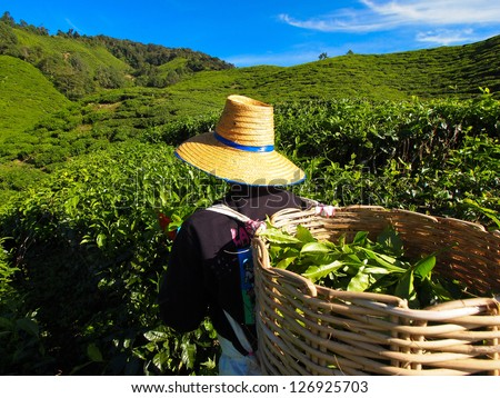 Tea Worker picking tea leaves in a tea plantation Cameron Highlands Malaysia #126925703