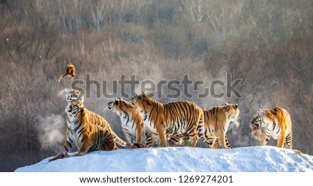 Several siberian tigers stand on a snow-covered hill and catch prey. China. Harbin. Mudanjiang province. Hengdaohezi park. Siberian Tiger Park. Winter. Hard frost. (Panthera tgris altaica) #1269274201