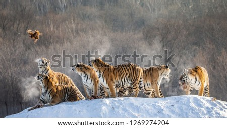 Several siberian tigers stand on a snow-covered hill and catch prey. China. Harbin. Mudanjiang province. Hengdaohezi park. Siberian Tiger Park. Winter. Hard frost. (Panthera tgris altaica) #1269274204