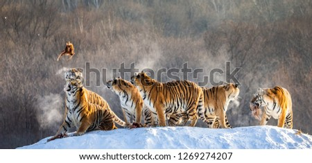 Several siberian tigers stand on a snow-covered hill and catch prey. China. Harbin. Mudanjiang province. Hengdaohezi park. Siberian Tiger Park. Winter. Hard frost. (Panthera tgris altaica) #1269274207