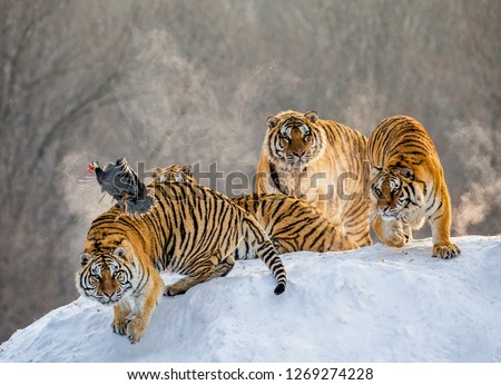Several siberian tigers stand on a snow-covered hill and catch prey. China. Harbin. Mudanjiang province. Hengdaohezi park. Siberian Tiger Park. Winter. Hard frost. (Panthera tgris altaica) #1269274228