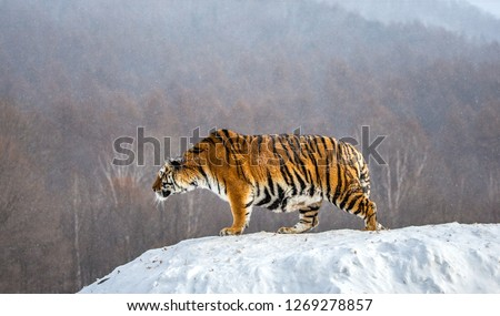 Siberian tiger is standing on a snowy hill on a background of winter trees. China. Harbin. Mudanjiang province. Hengdaohezi park. Siberian Tiger Park. Winter. Hard frost. (Panthera tgris altaica) Royalty-Free Stock Photo #1269278857
